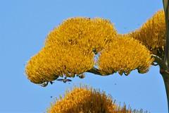 Eleuthera: Hummer feeding (Ali Bentley) Tags: centuryplant hummingbird bird eleuthera eleutheraisland thebahamas bahamas island caribbean canon