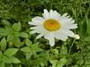 06-DSCN1055 (hemingwayfoto) Tags: blühen blüte blume gelb margeriten regionhannover wülfelermasch weis