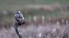 Common Buzzard at Dawn (The Wasp Factory) Tags: commonbuzzard buzzard mäusebussard buteobuteo feldberg feldbergerseenlandschaft mecklenburgwesternpomerania mecklenburgvorpommern wildlife