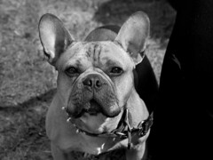 Hi (M L Hannah) Tags: frenchie frenchbulldog dog pupper cutie animal eyes love monochrome blackandwhite outside naturallight thoseears intense
