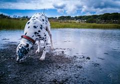 Farungo! (ruimiguelmartiins) Tags: dog water barragem primavera passeio dalmata portugal alentejo