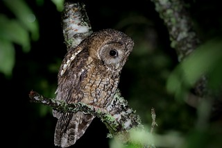 灰林鴞 / Tawny owl