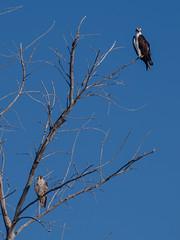 _B220300.jpg (4x4prints) Tags: osprey fisheagle hawksea hawkhawkbird preyraptorpandion haliaetus bird birds feather feathers ocean gulf sea beach shore