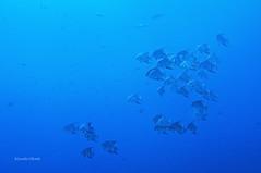 A school of spadefish (kyshokada) Tags: spadefish reef roatan caribbean coral canon powershot 7gx underwater scuba diving animalplanet