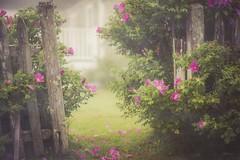 Rosa Rugosa by the Sea (jm atkinson) Tags: purple fencedfriday hff 7dwf flora rosa ragusa maine fog pemaquidpoint