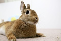 Ichigo san 731 (Ichigo Miyama) Tags: いちごさん。うさぎ ichigo san rabbitbunny netherlanddwarf brown ネザーランドドワーフ ペット いちご うさぎ rabbit