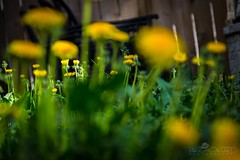 Day 147: Resting (Paul Howard Photo) Tags: ifttt 500px sun outdoor plants bokeh grass dandelion canon spring 365project 5dmkiii canonlenses canoncameras paulhowardphotography paulhowardphoto paulhowardphotocom protectedbypixsy