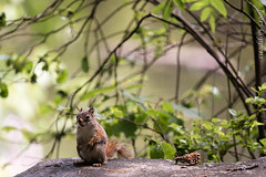 Squirrel (joeri-c) Tags: squirrel park nature tree leaf cute animal wood wildlife little outdoors wild mammal rodent pinecone denneappel eekhoorn écureuil sciuridae pommedepin canada pointpleasantpark