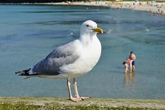 Strandwächter - Beach guard (cammino5) Tags: silbermöve silvergull seebrücke pier binz mai 2017 rügen ostsee balticsea