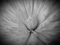 Imperfection (Will.Mak) Tags: monochrome black white flower olympus em1markii olympusm1240mmf28 1240mmf28 1240mm f28