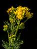 Jakobskruiskruid...............In Explore vandaag! (Geziena) Tags: kruid plant bloem geel rups sintjacobsvlinder giftig bloeien 40150mm explore