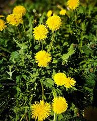 Dandelions (evakongshavn) Tags: flowers springflowers spring wildflowers dandelion flower nature blossom landscape landscapelovers dandelions løvetann yellow adventure adventureisoutthere