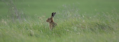 Hare landscape (saundersfay) Tags: hare elmley nature