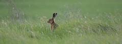 Hare landscape (saundersfay) Tags: hare elmley nature