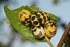 Cohabiting Shield-backed Jewel Bugs (Poecilocoris sp., Scutelleridae) (John Horstman (itchydogimages, SINOBUG)) Tags: insect macro china yunnan itchydogimages sinobug bug shield shieldbacked jewel nymph hemiptera scutelleridae orange 2 4 fbe topf25 topf50