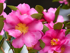 brighten up [Explore-2017-06-27] (Gazman_AU) Tags: camellia pink flower petals bush garden outdoor