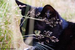 IMG_0007_1 (Fafakan Cercevik) Tags: animal cat black bokuh bokeh cateye eye canon eos 30d 1785mm canoneos30d canonefs1785mmf456usm