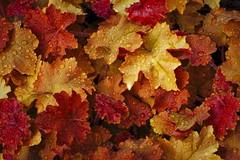 Golden Leaves (ROPhoto77) Tags: artistic bokeh bold colorful decorative flowers gardens green maine misty moisture outdoor petal petals leaf leaves plants rain raindrops spring
