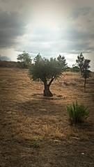 El escogido (Bonsailara1) Tags: bonsailara1 parquefelipevi valdebebas madrid españa spain olivo olive tree rayoflight luz sunrays rayodesol contraluz backlight mediterraneo