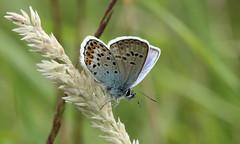 8815 Plebejus argus (jon. moore) Tags: preesheath shropshire silverstuddedblue plebejusargus lepidoptera