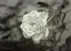 After Rain ... (MargoLuc) Tags: white rose droplets summer flower charming leaves bokeh monochrome rainy days bw