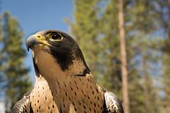 Peregrine Falcon (Jon David Nelson) Tags: falcoperegrinuspealei falcons falcoperegrinus peregrine peregrinefalcon raptors birdsofprey wildlife centraloregon conservation education bendoregon