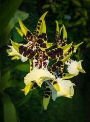 Onc. Wild Warrior 'Chieftain' (glomacphotos) Tags: orchid oncidium
