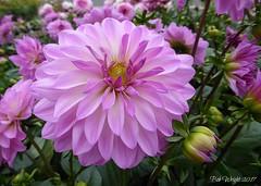 Purple Delight. ( Explored ) (Bob.W) Tags: dahlia purple spring ngc npc coth5