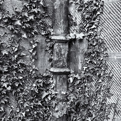 Ivy and drainpipe (Tim Ravenscroft) Tags: ivy drainpipe texture castle monochrome blackandwhite blackwhite chirk wall wrexham wales hasselblad hasselbladx1d x1d