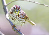 _53F7251 Song Sparrow (~ Michaela Sagatova ~) Tags: birdphotography canonphotography michaelasagatova songsparrow sparrow