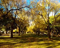 Autumn Avenue_3619 (Rikx) Tags: autumnleaves autumn autumncolours gold yellow golden sun leaves adelaide southaustralia explore