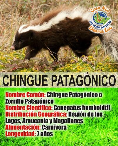 Chingue patagonico
