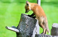 DSC_0797 (rachidH) Tags: fox renard vulpes foxcub renardeau redfox renardroux vulpesvulpes backyard frontyard wildlife sparta newjersey nj rachidh nature