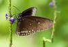 #butterfly (Janne Fairy) Tags: butterfly schmetterling schärfentiefe depthoffield dof depth field nature natur animal tier insekt insect canon canon500d eos500d eyes augen black white