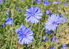 chicory blooming near Cresco IA 854A8522 (lreis_naturalist) Tags: chicory flowers blooming cresco howard county iowa larry reis
