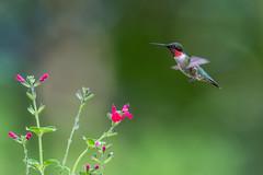 Mister Ruby (PhillymanPete) Tags: male wildlife flight nature bird palmyracovenaturepark bif rubythroatedhummingbird hummingbird salvia flower red palmyra newjersey unitedstates us nikon d500