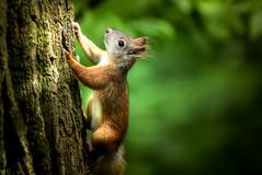 Squirrel (svklimkin) Tags: squirrel animal wild forest nature red summer park tree svklimkin jump