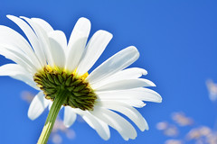 Deep Blue Sky (Metse) Tags: leucanthemum vulgare marguerite daisy makro polarizing nikon nikkor 60mm f 28 d7100 macro margrite