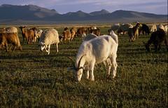 LH-Expeditionsreise Mongolei (lsvexpeditionsreisen) Tags: 200207 herde landschaft mongolei schafe ziegen