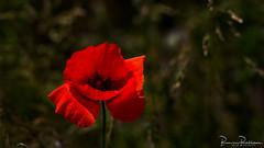 Poppy (BraCom (Bram)) Tags: bracom flower poppy dof depthoffield papaver klaproos red rood closeup bloem petals bloemblaadjes stellendam goereeoverflakkee zuidholland nederland southholland netherlands holland widescreen 169 bramvanbroekhoven nl