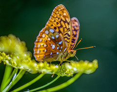 Great Spangled Fritillary (Bernie Kasper (2,000,000 views)) Tags: art berniekasper butterfly cliftyfallsstatepark cliftyfalls d600 family flower floral flowers green hiking indiana indianawildflowers insect jeffersoncounty leaf leaves love madisonindiana macro madisonindianacliftyfallsstatepark madison nature naturephotography new outdoors outdoor old photography plant park raw summer sigma greatspangledfritillary wildflower wildflowers wing wings