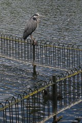 On the fence (Tom Doel) Tags: london wate fence railing pond boatinglake wandsworth batterseapark greyheron