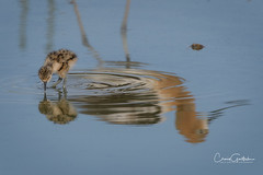 Watchful Eye (craig goettsch - out shooting) Tags: hendersonbirdviewingpreserve2017 americanavocet chick baby reflection bird avian young blue willife nature nikon d500 ngc coth5 sunrays5 npc
