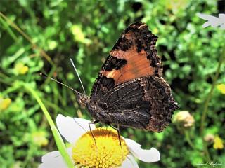 Butterfly 1334