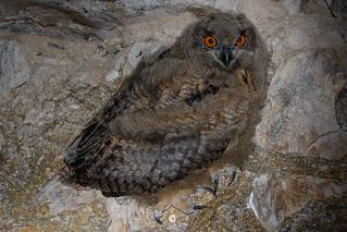 Eurasian eagle-owl (Bubo bubo) - Búho real (Bubo bubo)
