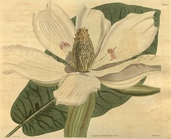 Anglų lietuvių žodynas. Žodis magnolia macrophylla reiškia magnolija macrophylla lietuviškai.