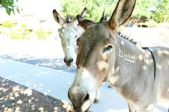 7-13-17 donkeys at depot 2 (EllenJo) Tags: donkeys burros clarkdaleburros canonrebel july13 2017 ellenjo verdecanyonrailroad depot traindepot equine