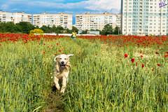Зверушки 0412 (2016.06.01) (vladsky78) Tags: ильичёвск небо облака животные зелень цветы поле собака