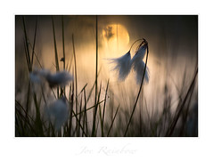 """""""Summertime"""" - Lizard Peninsula, Cornwall (Joe Rainbow) Tags: landscape summer cornwall evening natural nature cotton grass"""
