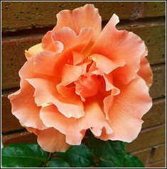 Lovely Rose Close Up .... (** Janets Photos **) Tags: uk flowers plants flora roses